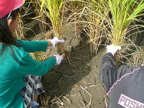 5年稲刈り3.jpg