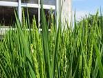 稲の花①.jpg