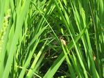 稲とトンボ.jpg
